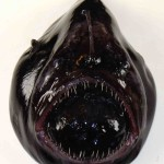 The 27 Best Deep-Sea Species: #19 Black Devil Anglerfish