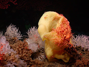 Image credit: (c) 2006 MBARI / NOAA  These this photograph shows three different types of sponges growing on the lava of Davidson Seamount: large yellow sponges, white frilly sponges, and white filamentous sponges which were previously thought to be a type of coral. The large yellow sponge provides a perch for several basket stars and pink shrimp.