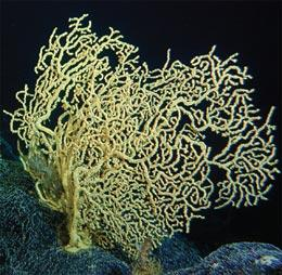A gold coral (Gerardia sp.) from 400 m in Hawaii est. 2700 years old.