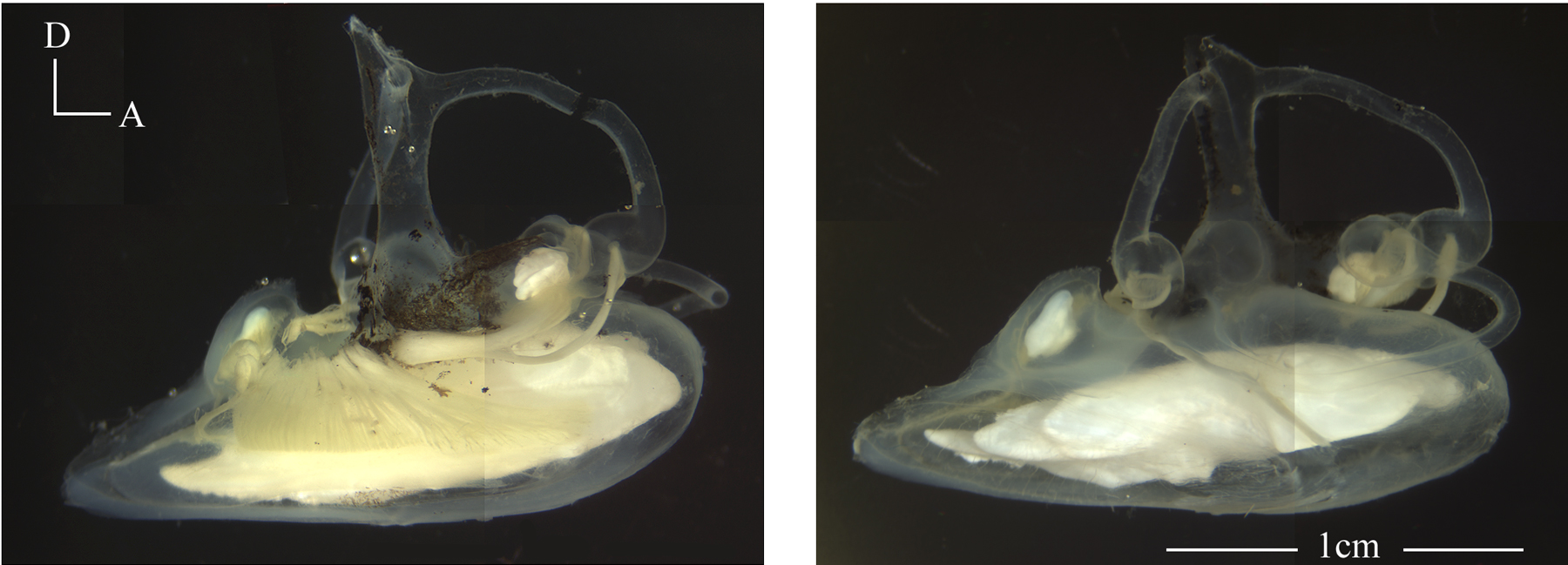 These are pictures of the left and right ears of the blue antimora (Antimora rostrata), a deep-sea cod. In the picture of the right ear (on the right), you can clearly see the three otolith organs as white objects. The saccular otolith in this species is very large and heavy. Copyright Xiaohong Deng, Neuroscience and Cognitive Science Program, University of Maryland. http://www.life.umd.edu/biology/popperlab/research/deepsea.htm.