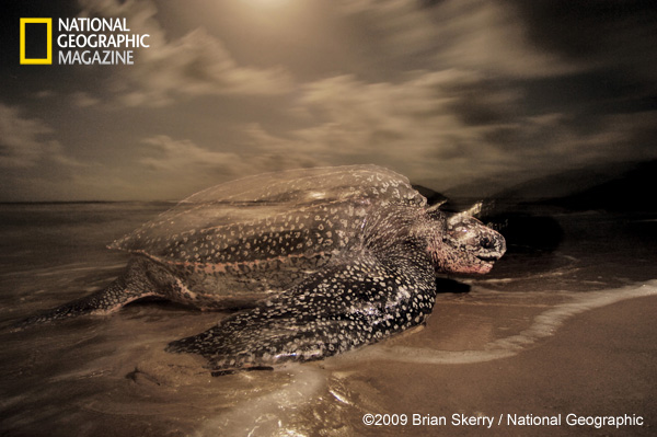 Leatherback Sea Turtle. Image used with permission ©2009 Brian Skerry / National Geographic.