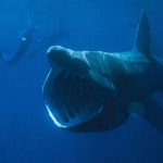 Friday Deep-sea Picture: Basking Shark
