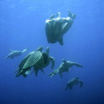 Sea turtles get it on, and on, and on…