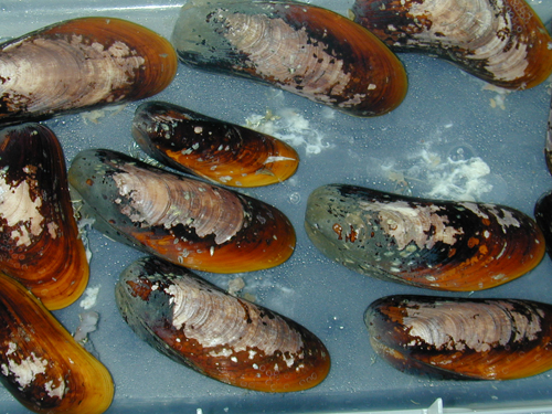B. chidressi spawning.  The white clouds in the water are sperm. Photo courtesy of Shawn M. Arellano