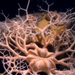 Friday Deep-Sea Picture: Basket star