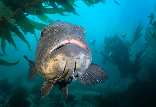 Giant black sea bass, protected in California since 1982