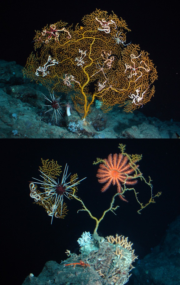 urchin-gold-coral-combo