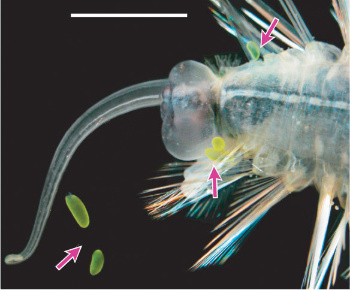 Ventral view of Swima species 1 with three attached and two autotomized B-bombs. Image © 2004 Karen J. Osborn.