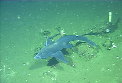 The Eastern Pacific black ghostshark (Hydrolagus melanophasma), a new species from California and Baja California, not taunting other marine life with its retractable forehead genatalia.  Credit: MBARI