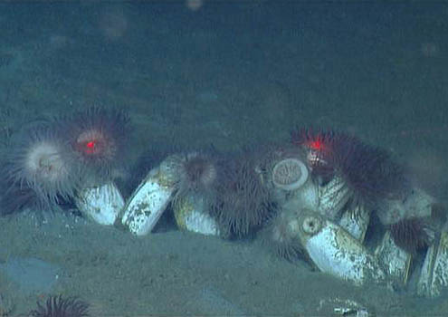 Clams (Ectenagena extenta) sporting rastafarian anemone pom pom hats. Photo courtesy of MBARI