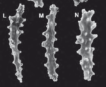 Tentacle sclerites from Gersemia juliepackardae.