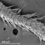 New Species Friday 10/30/09 – <em>Ophryotrocha fabriae</em>