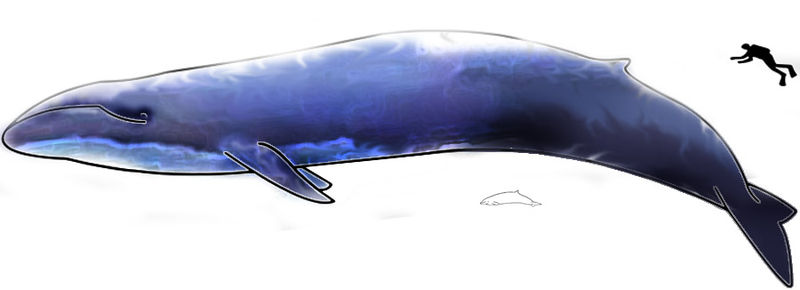 The largest, Blue Whale and smallest, Hector Dolphin, cetaceans. From wikimedia commons