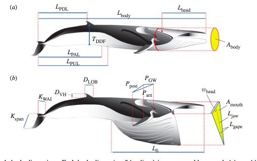 Figure 1. Fin whale body dimensions. Each body dimension (blue lines) is represented by a symbol (see table 1 for details); images modified from Goldbogen et al. (2007). (a,b) The allometric equations for these body dimensions were determined with respect to the length of the body (table 1).