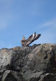 A skua, likely preparing to dive-bomb someone. Skuas are notoriously territorial during nesting season.