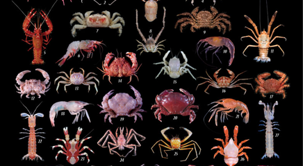 Image adapted from the book cover for New Crustacean Species from the Phillipines.