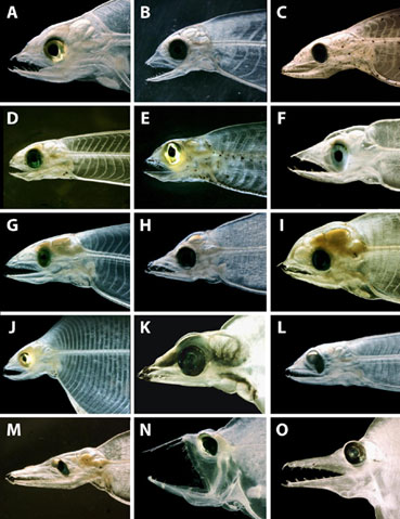 Larval eel jaw diversity from Michael Miller 2009 ASMB 2(4): 1-94.