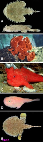 From Miya et al. 2010  Figure 1 - Representatives of the lophiiform suborders Lophioidei (A), Antennarioidei (B, C), Chaunacoidei (D), and Ogcocephaloidei (E)