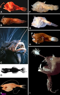 From Miya et al. 2010 Figure 2 Representatives of ceratioid families as recognized in study