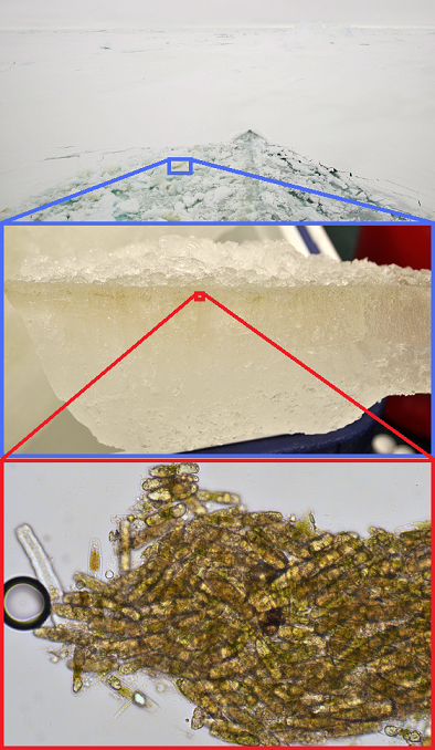 Sea ice algae at various levels of magnification:  Algae-streaked ice off the bow of the Palmer (top), algae-filled brine channels in an ice fragment brought back to the lab (middle), and a magnified view of algae chipped from this ice block (bottom).  Photographs courtesy Mattias Cape.
