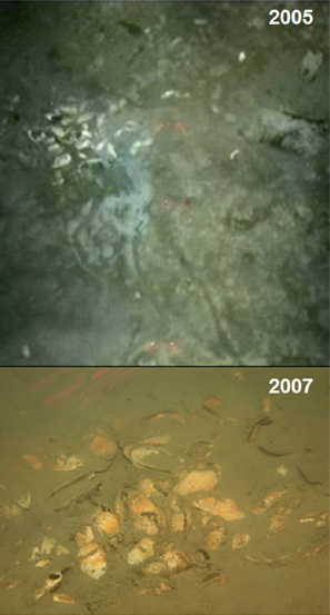 Living vesicomyid clams 100 kilometers from the former edge of the Larsen B Ice Shelf as initially seen in 2005 (top), and images of what may be the same clam bed now dead in 2007.  Although the image quality is poor, the trails in the 2005 image are characteristic of those made by living vesicomyids.  Upper image is from Domack et al. EOS Transactions, American Geophysical Union 86, 269-276 (2005).  Lower image is from Niemann et al. (2009)