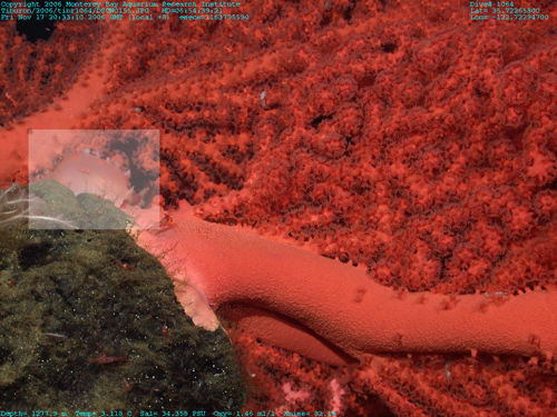 A potential new species of nudibranch (white box) on a bubblegum coral