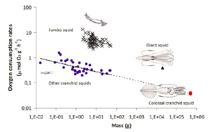 Oxygen consumption rates for various squids as a property of mass.