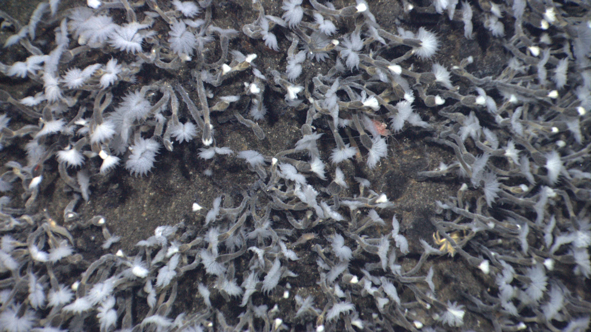"Close-up imagery showing barnacles covering sulphur structures on Kawio Barat volcano. Their tentacles, or 'cirri,' extended like blooming flowers, then folded back into the shell. The white fluff on the cirri are filaments of bacteria that grow in the passing vent water. The barnacles hold them out to improve growth then, apparently, withdraw to ""lick their fingers."" High resolution (Credit: Image courtesy of INDEX 2010: ""Indonesia-USA Deep-Sea Exploration of the Sangihe Talaud Region."")"