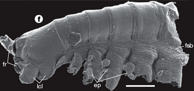 Lateral view of trunk fragment, developmental stage 6. ep = epipod