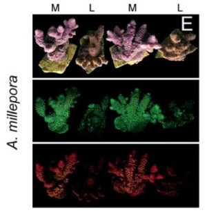 D'Angelo et al. (2009): Blue light regulation of pigment expression in corals
