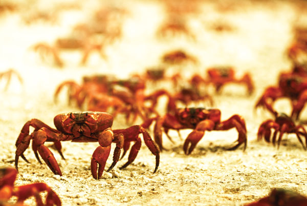 Decimated by predators and dogged by the whims of the weather, each year 50 million red crabs scamper over jagged cliffs and sunbaked sands to the water's edge for their annual spawning.