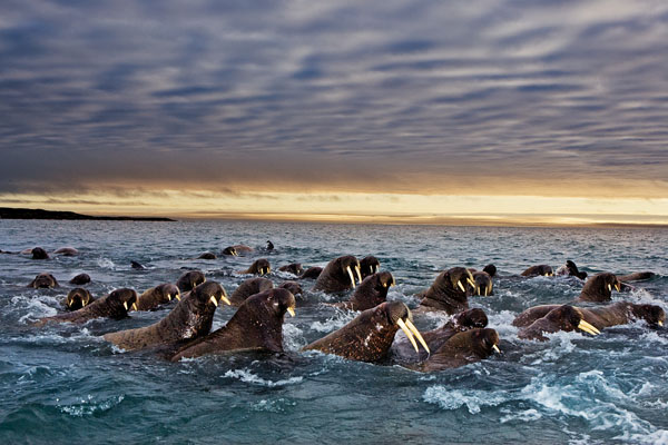 With the decrease in ice cover in recent years, walruses are struggling to maintain their position what few ice chunks exist.