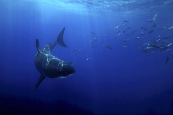 Great White Sharks cover thousands of miles of open ocean for a good meal.