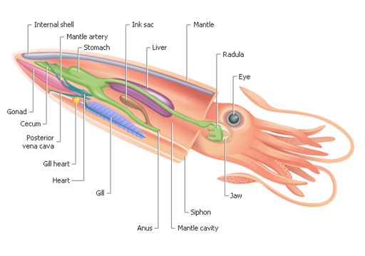 internal anatomy of a squid