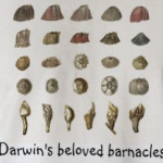 Darwin Day Repost – Ex Omnia Conchis: Darwin And His Beloved Barnacles