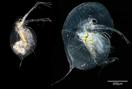 Morphological variation in Daphnia species (Credit: waterflea.org)