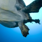 Guest Post: Crowd-Sourcing Science to Save Sea Turtles