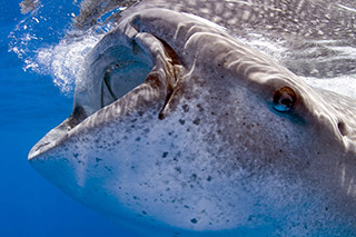Whale shark filtering