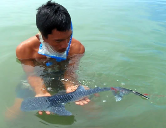 This baby whale shark is one of few ever observed; it was found in the Philippines in 2009