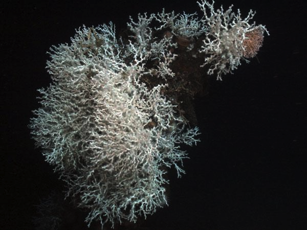 From NOAA: A huge colony of Lophelia lives on the stempost. Image courtesy of Sheli Smith, Lophelia II 2009: Deepwater Coral Expedition: Reefs, Rigs and Wrecks.