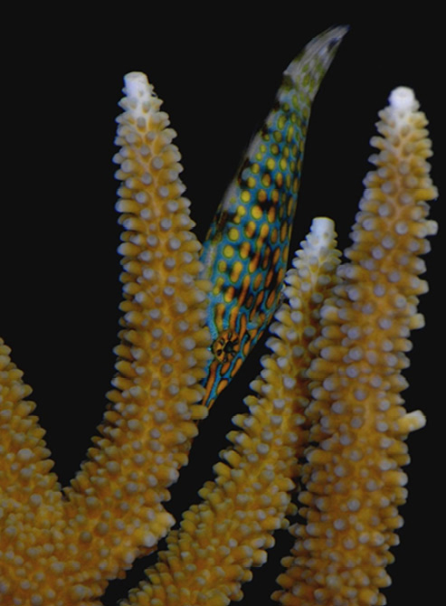 """La La La La….Nothing to see here!"" CREDIT: Brooker, et al., Coral Reefs, Sept. 2011"