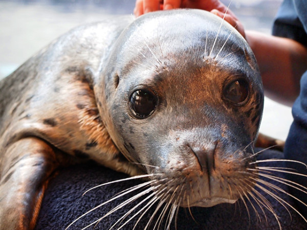 harbour_seal