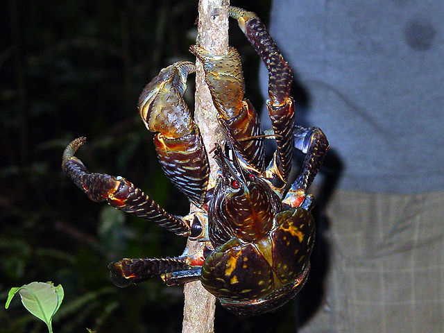 Coconut crab on a stick. Photo from Wikimedia Commons