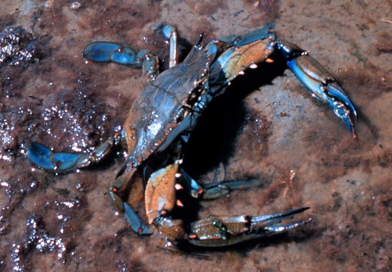 Blue crab. Photo from Wikimedia Commons