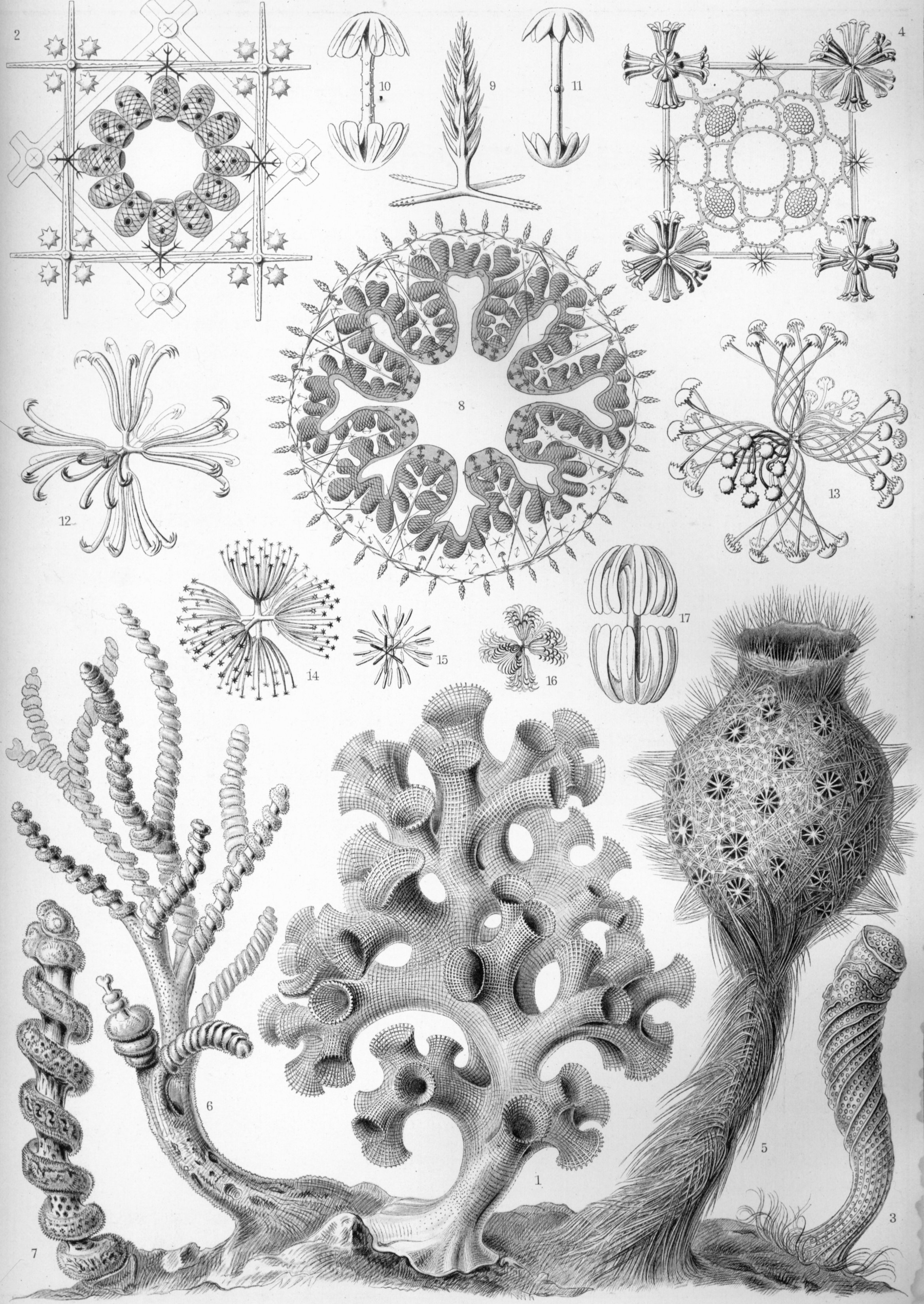 The glass sponges were not lost on Ernest Haeckel when he was doing his excellent drawings back in the day