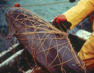 An endangered vaquita porpoise caught in a fishing net.