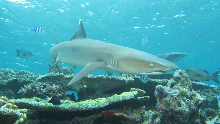 White-tip reef shark, Fiji  © 2011 Angelo Villagomez