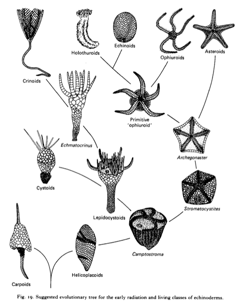 Veins Of Water The Evolution Of The Echinoderm Water