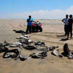 What is Peru's dolphin and pelican die-off telling us?