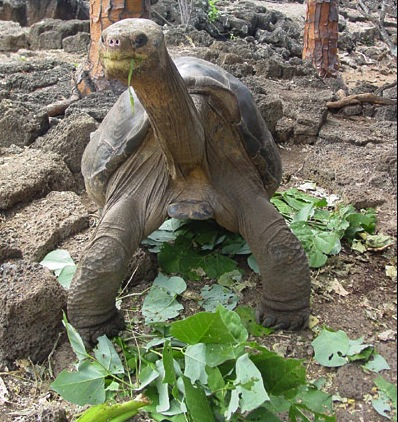 Lonesome George, © BBC News